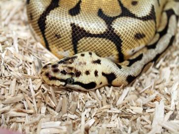 Bumblebee Royal Python, Esme